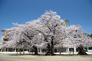 真鍋小学校の桜01