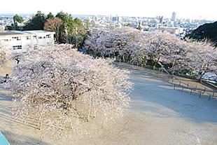 真鍋小学校の桜02