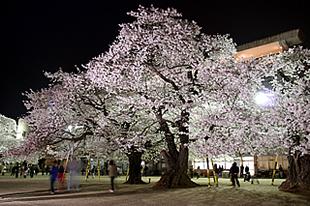 真鍋小学校の桜03