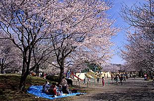 乙戸沼公園の桜01