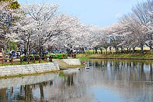 乙戸沼公園の桜03
