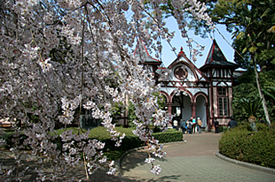 旧制土浦中学校本館の桜01