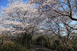 竜ケ峰の桜01