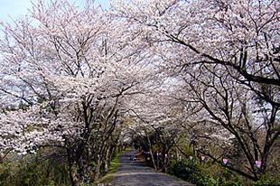 竜ケ峰の桜02