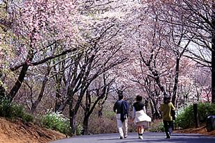竜ケ峰の桜03