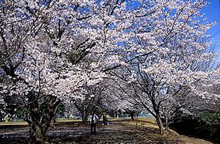 神立公園の桜01