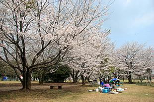 神立公園の桜02