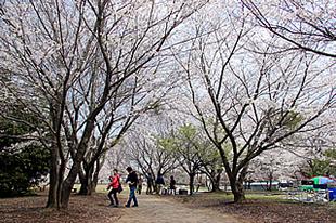 神立公園の桜03