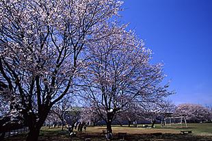 中貫公園の桜02