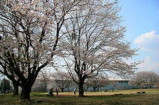 中貫公園の桜03