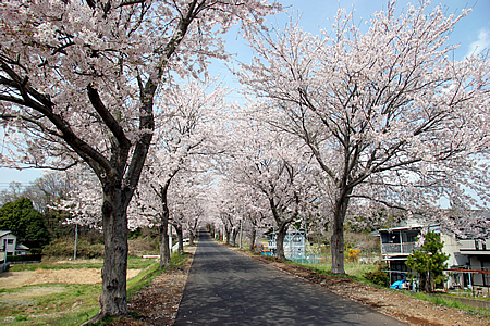 土浦三高の桜01