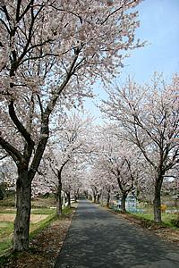 土浦三高の桜02
