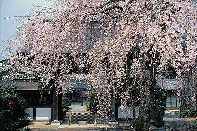 神宮寺の桜01