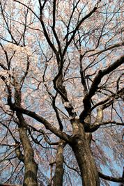 神宮寺の桜02