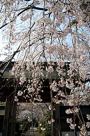 神宮寺の桜03