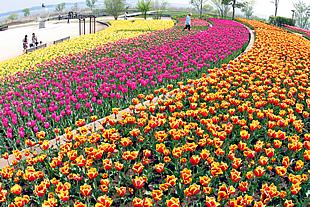 霞ヶ浦総合公園(チューリップ)03