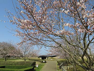 桜と貝層断面展示施設